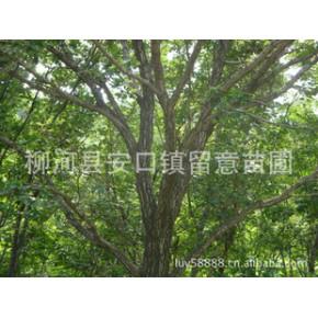 供应柞树、蒙古栎8--30cm绿化大树