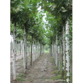 各种绿化苗木 、法桐(二次定干 、养冠法桐)