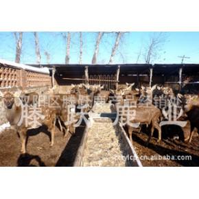 养殖梅花鹿(公母)鹿 梅花鹿