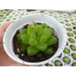多肉植物小盆栽 水晶宫殿 晶宝殿 批发供应(植物直径 约2.5CM)