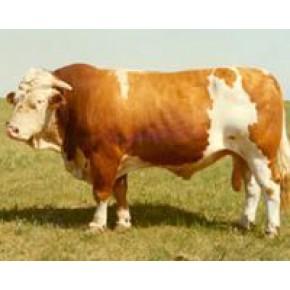 山东育肥西门塔尔肉牛厂家 纯种西门塔尔肉牛报价
