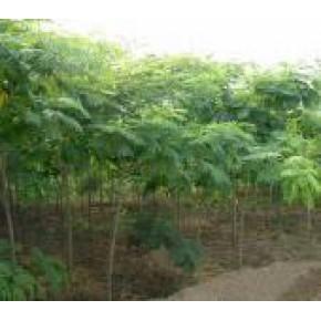 合欢树 合欢 落叶性 5(m)