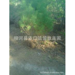 留意苗圃大量供应油松树苗1.5米--2米-3米各种规格油松树苗