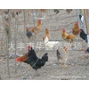 原生态散养 山林放养高质量柴鸡批发
