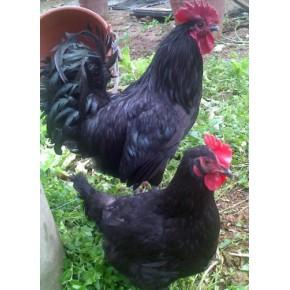 高产绿壳蛋黑鸡苗,产蛋高耗料少