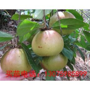 油茶苗-南平高产油茶苗木基地 全球苗木供应
