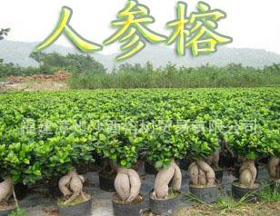 福建沙西榕树开发区珍成花场