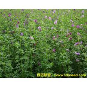 紫花苜蓿种子