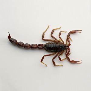 蝎属节肢动物盛产于