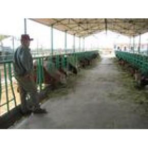 山东万加牧业供应鲁西黄牛、利木赞牛、夏洛莱牛、西门塔尔牛、三元杂交牛