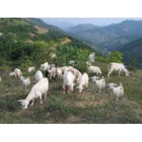 2012年肉羊行情分析江西放养肉羊圈养肉羊效益分析