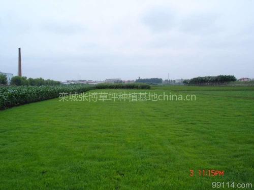绿园草坪销售种植基地