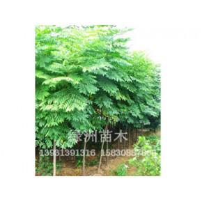 绿化苗木银杏绿洲苗圃场供应