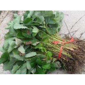 草莓苗草莓/草莓苗上市/草莓苗批发/草莓苗