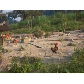 福州土鸡市场价格 原生态土鸡出售 土鸡肉质鲜美价格合理