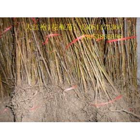 2012花椒树价格,花椒树种植,花椒树批发,花椒树品种