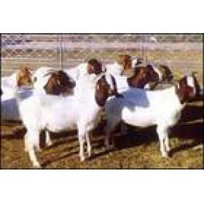 湖南羊价格 湖南养殖羊技术