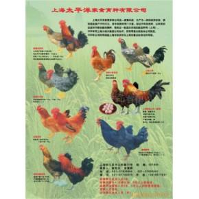 批发各种淘汰鸡价格面议 上海