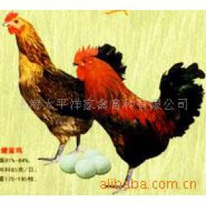 批发供应绿壳蛋蛋鸡鸡苗 上海