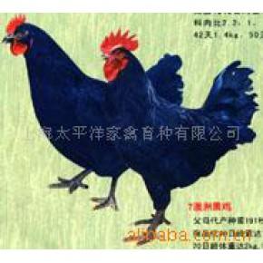批发供应澳洲黑鸡、鸡苗批发