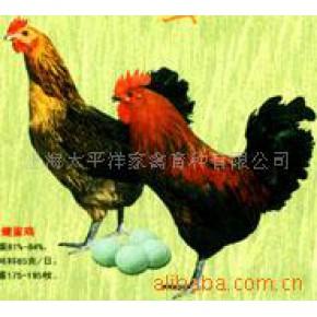 批发供应绿壳蛋鸡苗 上海