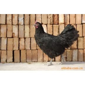 批发供应澳洲黑鸡鸡苗,价格面议