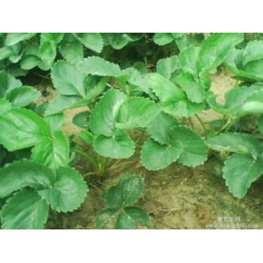 营养钵草莓苗,营养杯草莓苗,盆栽草莓苗,草莓种苗