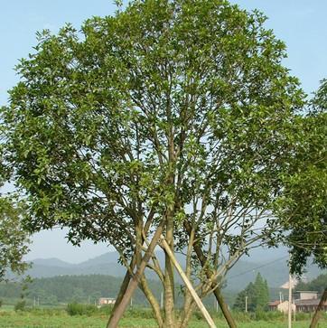 描写樟树特点的词语