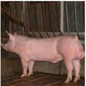 (种猪养殖基地--种猪养殖)草水养殖