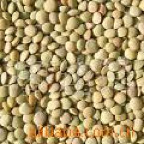 甘肃产精选优质2010年小扁豆