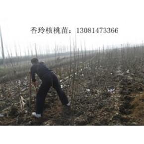 低价供应薄皮香玲核桃树苗,香玲核桃苗价格,香玲核桃苗培育基地