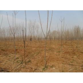 山东樱桃树,樱桃树价格,樱桃树品种,樱桃树管理