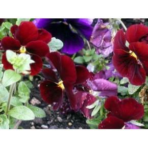 三色堇花卉批发