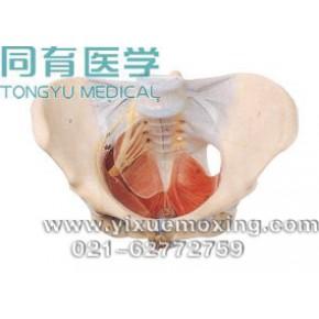 苏州同科女性骨盆附盆底肌和神经模型