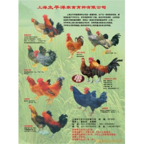 上海太平洋鸡苗、种蛋、种鸡