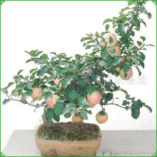 盆景 盆栽 植物 310_310