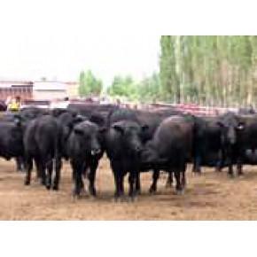 改良安格斯牛出厂价 纯种安格斯肉牛报价 山东安格斯牛厂家报价