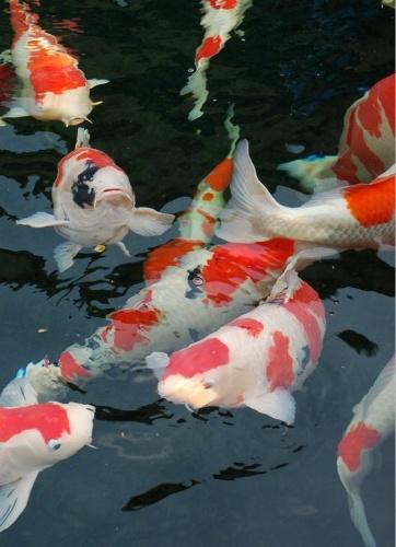 喜明金鱼锦鲤养殖场