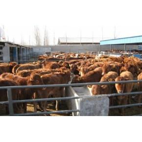 山东肉牛黄牛销售 肉牛犊价格 山东济宁黄牛肉牛养殖技术