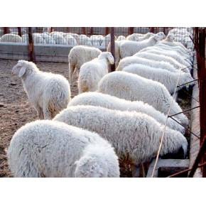 山东纯种波尔山羊养殖厂家 育肥1—4代波尔山羊出厂价