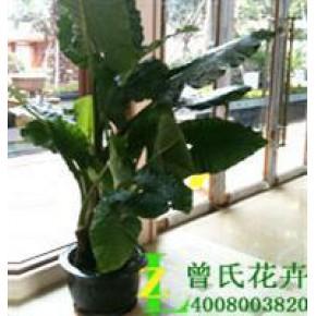 成都办公室植物租赁常见的室内花卉品种与作用