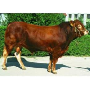 华夏畜牧业优惠供应肉牛 利木赞牛 夏洛莱牛