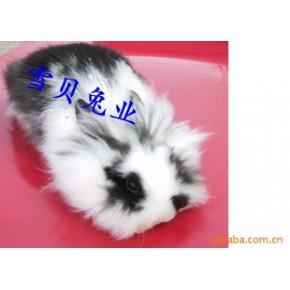 宠物兔。垂耳。迷你。道奇。
