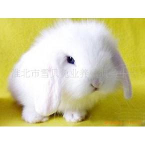 宠物兔 宠物兔