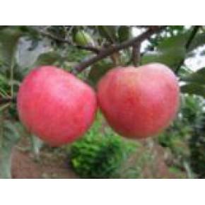 山东正大园艺优质泰山嘎啦苹果树苗新品种好成本低产量高
