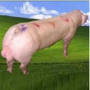 [三元仔猪,潍坊三元仔猪,种猪价格]草水养殖