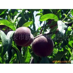 果树苗(早熟新品种、春瑞)
