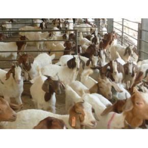 种羊价格 种羊养殖技术旭旺牧业供应