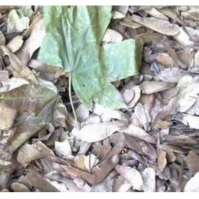 批发:青枫种子,青枫种子价格,青枫种子批发价格,青枫种子
