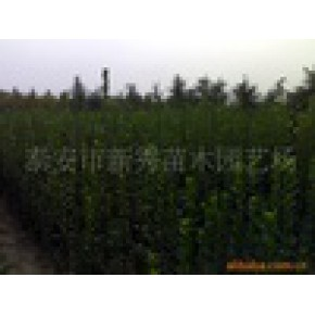 绿化苗木、北海道黄杨 黄杨